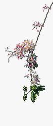 Cassia Bakeriana Pink Shower Wishing Tree#14vert