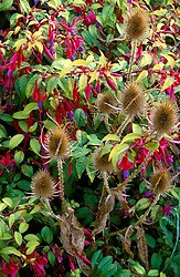 Self sown teasel ( Dipsacus fullonum ) in front of Fuchsia 'Genii' at Great Dixter