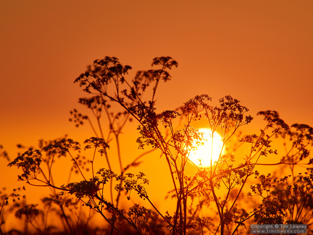 Cow Parsley (anthriscus sylvestris) Silhouetted Against A Golden Sunrise