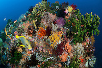 Ribbon Sweetlips on Coral Head with Healthy Soft Corals and Feather Stars..Shot in Indonesia