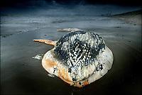 KOEN SUYK-7/10/2003-Maasvlakte: Dode aangespoelde buldrugwalvis bij Europoort