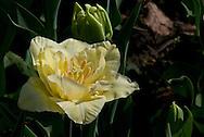 Yellow Double Tulip