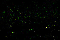 Firefly Trails [2200-2229]. Composite of image taken with a Nikon D4 camera and 200 mm f/2 VR lens (ISO 800, 200 mm, f/8, 30 sec).