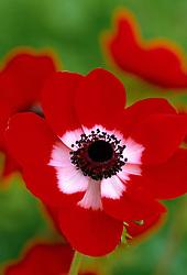 Anemone coronaria 'Hollandia' - Windflower