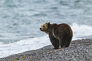 Grizzly bear along shore of Yellowstone Lake in Wyoming
