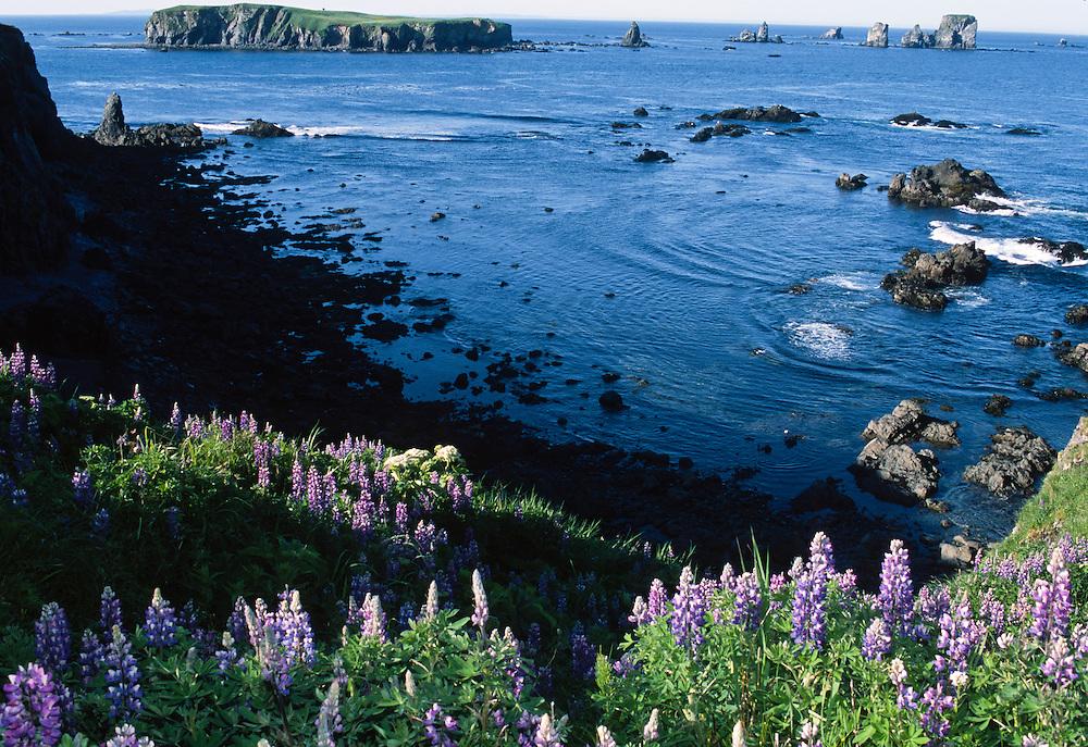 Alaska. Kodiak Island. Lupines growing wild.