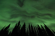 The aurora above a stand of Black spruce trees along the Chena Hot Springs Road just outside of Fairbanks, Alaska