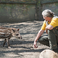 Two month old baby Lowland tapir (Tapirus terrestris) called Hada is seen with a zookeeper in Budapest Zoo in Budapest, Hungary on April 23, 2020. ATTILA VOLGYI