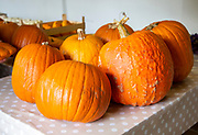 Large orange pumpkins on table top, UK