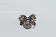 A jacare caiman, Caiman yacare, at surface of water.