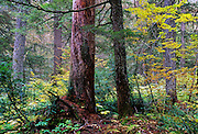 Rocky Mountain Maple and old-growth forest in fall. Cabinet Mountains in the Scotchman Peaks Roadless Area. Kootenai National Forest, northwest Montana.