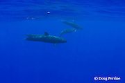 false killer whales, Pseudorca crassidens, Kona, Hawaii  ( Central Pacific Ocean ); whale in back is carrying a fish (Carangidae) in its mouth