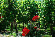 France, St. Emilion, Roses and grave vines