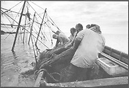 Salmon netters hauling the dirty net aboard a coble (boat) after the fortnightly change of nets on the fly net at Boddin Point, Angus<br /> Ref. Catching the Tide 50/00/30A (2nd August 2000)<br /> <br /> The once-thriving Scottish salmon netting industry fell into decline in the 1970s and 1980s when the numbers of fish caught reduced due to environmental and economic reasons. In 2016, a three-year ban was imposed by the Scottish Government on the advice of scientists to try to boost dwindling stocks which anglers and conservationists blamed on netsmen.