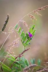 Common Vetch. Vicia sativa.