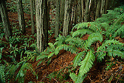 Ferns in a Redwood Grove along the Kortum Trail at Pomo Canyon, Sonoma Coast State Park, California
