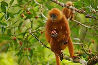 Red Leaf Monkey (Presbytis rubicunda)<br />aka Maroon Langur or Maroon Leaf Monkey<br />in strangler fig tree (Ficus dubia) in the Borneo rain forest canopy.  <br />Female eating a fig.