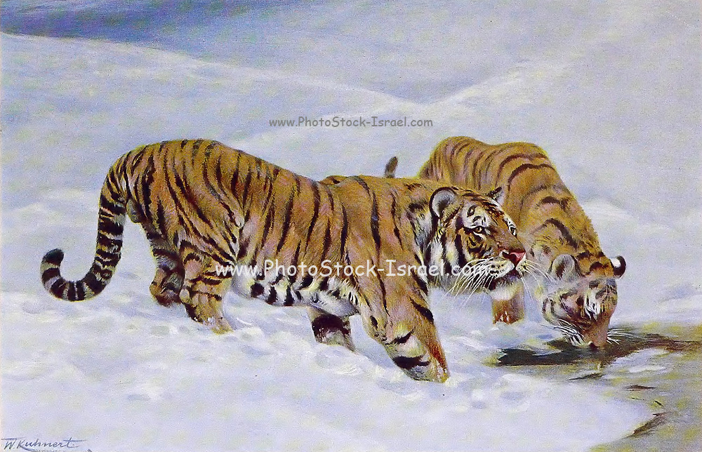 Siberian tiger (Panthera tigris tigris) here as Manchurian tiger (Felis tigris mongolica) from the book '  Animal portraiture ' by Richard Lydekker, and illustrated by Wilhelm Kuhnert, Published in London by Frederick Warne & Co. in 1912