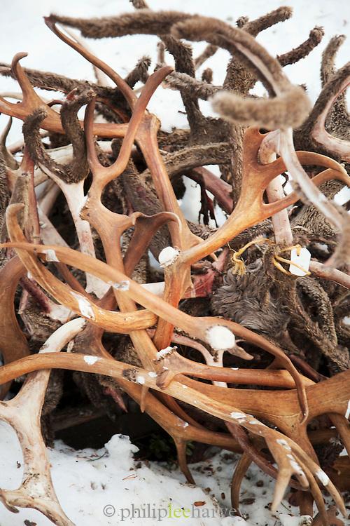 Reindeer antlers, Lemmenjoki National Park, Lapland, Finland.