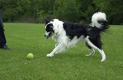Eddie Sander with his Dogs Jackson and Inka<br /><br />18 June 2004<br /><br />Copyright Paul David Drabble<br /> [#Beginning of Shooting Data Section]<br />Nikon D1 <br /> Focal Length: 35mm<br /> Optimize Image: <br /> Color Mode: <br /> Noise Reduction: <br /> 2004/06/18 09:57:32.3<br /> Exposure Mode: Manual<br /> White Balance: Auto<br /> Tone Comp: Normal<br /> JPEG (8-bit) Fine<br /> Metering Mode: Center-Weighted<br /> AF Mode: AF-C<br /> Hue Adjustment: <br /> Image Size:  2000 x 1312<br /> 1/400 sec - F/4<br /> Flash Sync Mode: Not Attached<br /> Saturation: <br /> Color<br /> Exposure Comp.: 0 EV<br /> Sharpening: Normal<br /> Lens: 17-35mm F/2.8-4<br /> Sensitivity: ISO 200<br /> Image Comment: <br /> [#End of Shooting Data Section]