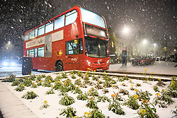 © Licensed to London News Pictures. 01/02/2019. London, UK. A bus passes flowers covered in snow during heavy snowfall in Maida Vale, West London as large parts of the UK are deluged with snow and freeing temperatures. Photo credit: Ben Cawthra/LNP