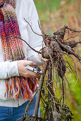 Digging up dahlia tubers ready for overwintering in a greenhouse. Trimming stems