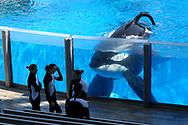 Killer whale Tilikum, right, watches as SeaWorld Orlando trainers take a break during a training session at the theme park's Shamu Stadium in Orlando, Fla., Monday, March 7, 2011.(AP Photo/Phelan M. Ebenhack)