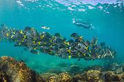 Yellowtailed Surgeonfish (Prionurus laticlavus) & Tourist<br /> GALAPAGOS ISLANDS,<br /> Ecuador, South America