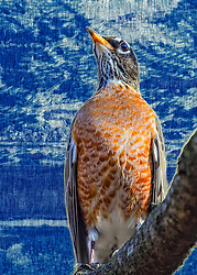 Yes even a robin can have some majesty and prowess.<br /> <br /> The quintessential early bird, American Robins are common sights on lawns across North America, where you often see them tugging earthworms out of the ground. Robins are popular birds for their warm orange breast, cheery song, and early appearance at the end of winter. Though they're familiar town and city birds, American Robins are at home in wilder areas, too, including mountain forests and Alaskan wilderness. <br /> <br /> The American Robin or North American Robin is a migratory songbird of the thrush family. It is named after the European Robin because of its reddish-orange breast, though the two species are not closely<br /> <br /> A distinctive, potbellied bird. Forages on lawns and other areas of short vegetation for earthworms and other invertebrates in a run-and-stop pattern typical of terrestrial thrushes. Adult: depending on sex and subspecies, head, with white eye arcs, varies from jet black to gray, with white supercilia and throat, blackish lores and lateral throat stripe. Underparts vary, often in tandem with head color, from deep, rich reddish maroon to gray-scalloped, peachy orange. Males tend to be darker, females grayer, but overlap makes determining sex of many problematic.