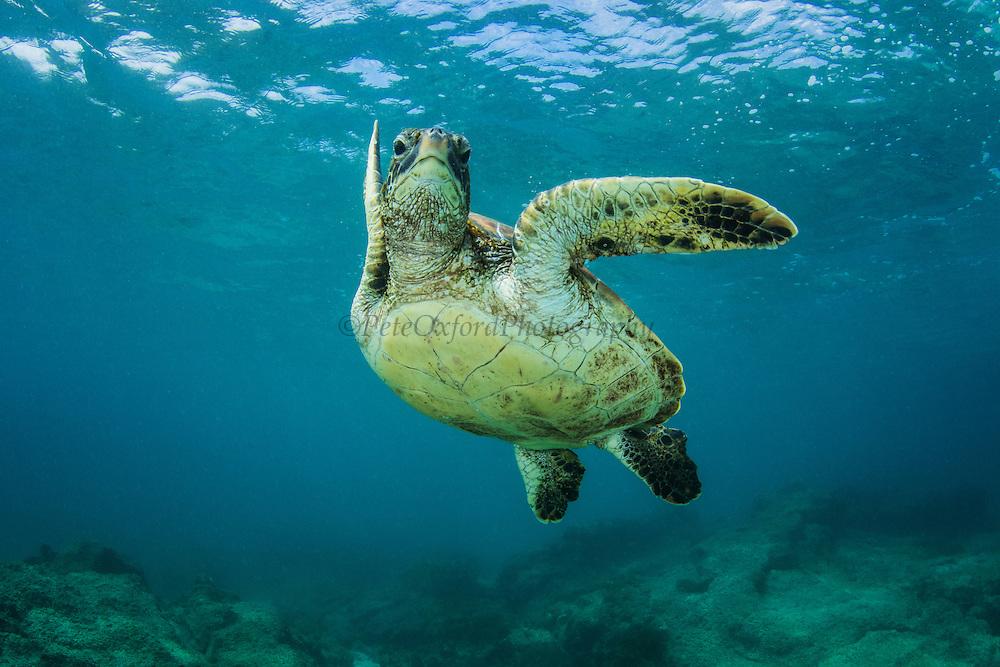 Galapagos Green Turtle (Chelonia mydas agassisi)<br /> Sullivan Bay, Santiago<br /> Galapagos<br /> Ecuador, South America