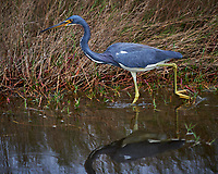 Tricolored Heron. Black Point Wildlife Drive, Merritt Island National Wildlife Refuge. Image taken with a Nikon D4 camera and 300mm f/2.8 VR lens (ISO 100, 300 mm, f/4, 1/500 sec).