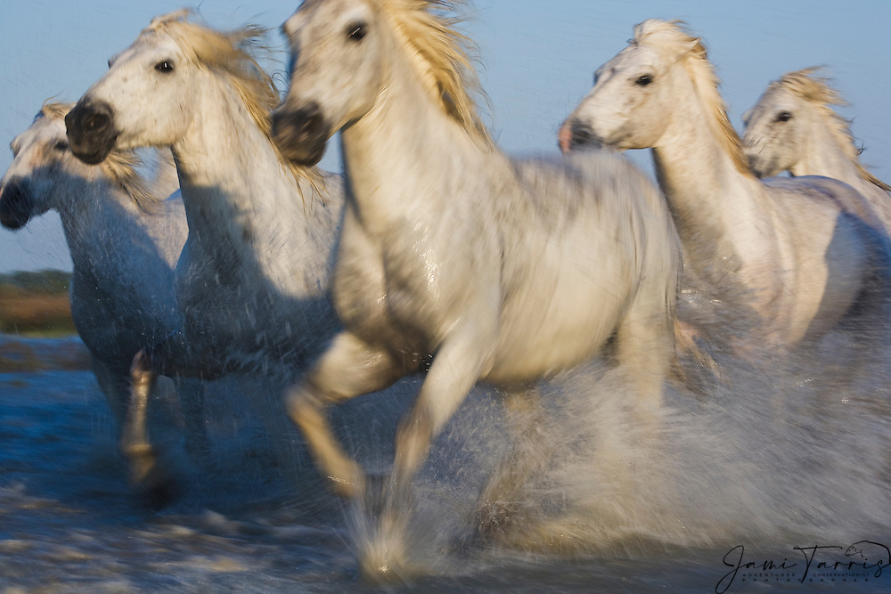 White horses of the Camargue (Equus ferus caballus) running through a lake, manes flying in the wind with water splashing motion blur, evening light,  La Camargue, Provence, France