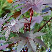 A small sectino of Japanese maple growing in Fort Tryon Park in New York City.