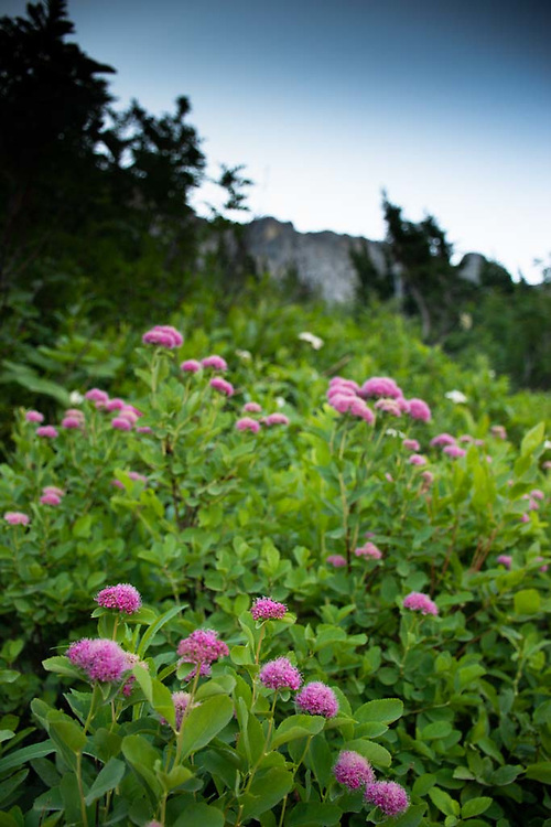 Rose meadowsweet (Spiraea splendens), Glacier National Park, Montana, US