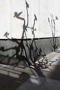 Shadows of bare branched trees on white wall behind National Portrait Gallery.