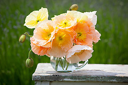 Papaver nudicaule 'Meadow Pastels' in a glass vase. Iceland poppy, Arctic poppy