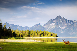 """Deer, Jackson Lake, Grand Teton National Park<br /> <br /> For production prints or stock photos click the Purchase Print/License Photo Button in upper Right; for Fine Art """"Custom Prints"""" contact Daryl - 208-709-3250 or dh@greater-yellowstone.com"""