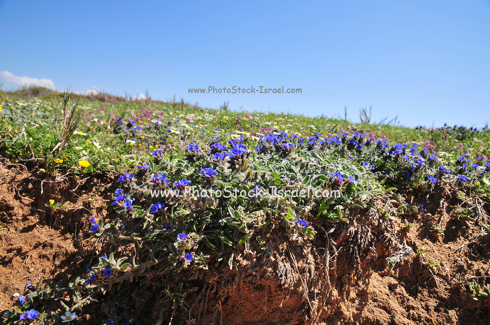Alkanet or dyers' bugloss (Alkanna tinctoria) is a plant in the borage family Boraginaceae with a blue flower, This plant is cultivated in southern Europe for the red dye extracted from its root. The root is also used in herbal medicine for its emollient properties. Photographed in the costal plains Israel