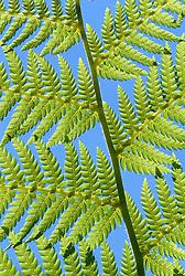 Sunlight on the leaf of Dicksonia antarctica - tree fern. Blue sky