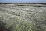 Vegetable crops growing under protecting netting, Alderton, Suffolk, England