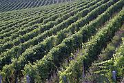 Italy, Piedmont (Piemonte) region, vineyard