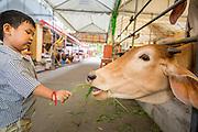 "27 NOVEMBER 2012 - BANGKOK THAILAND: A boy feeds cattle kept at Wat Sri Boonreung on Klong Saen Saeb in Bangkok, Thailand. People ""make merit"" by feeding the temple's cows and water buffalo.      PHOTO BY JACK KURTZ"