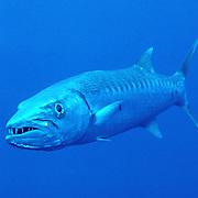Caribbean Barracuda