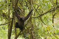 Eastern Hoolock Gibbon (Hoolock leuconedys) adult male