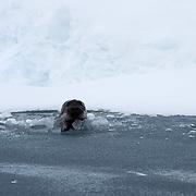 Bearded Seal (Erignathus barbatus) adult in an open water lead on the Beaufort Sea, Alaska.