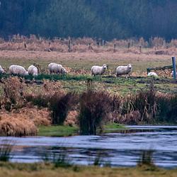 """""""Ovelha (Ovis aries) fotografado na Alemanha, na Unição Européia - Europa. Registro feito em 2016.<br /> ⠀<br /> <br /> ENGLISH: Sheep photographed in Germany, in European Union - Europe. Picture made in 2016."""""""