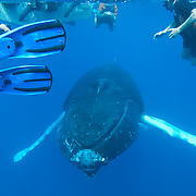 Humpback Whale (Megaptera novaeangliae) underwater with people snorkeling in the Caribbean Ocean. February.