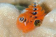 Christmas Tree Worm (Spirobranchus spp.)<br /> Fiji. South Pacific
