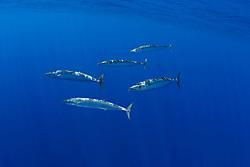 schooling wahoo, Pacific kingfish, or ono in Hawaiian, Acanthocybium solandri, free-swimming near FAD (fish aggregation device), Kona Coast, Big Island, Hawaii, USA, Pacific Ocean