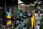 Pineapple factory workers sort and trim pineapples to be made into juice.  Costa Rica is one of the worlds biggest exporters of pineapples.